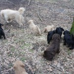 Labradoodles and woods