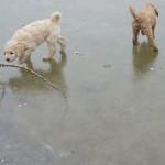 Labradoodles, frozen lake