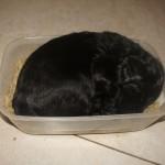 Labradoodle sleeping